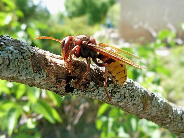 Frelon asiatique sur une branche