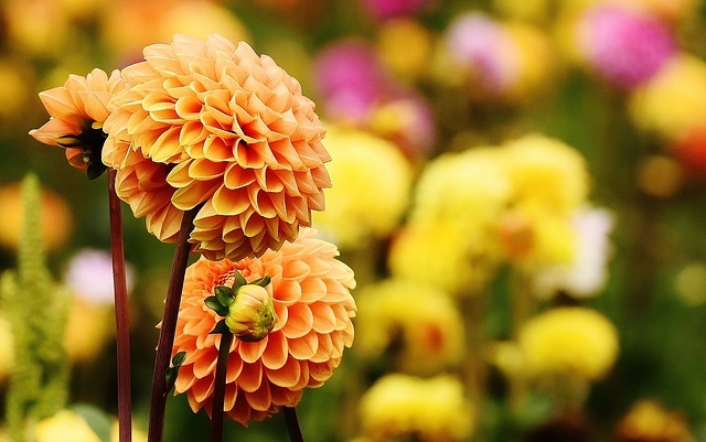 Quelques jolies dahlias