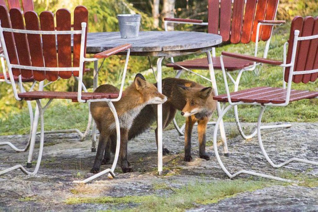 se débarrasser des renards