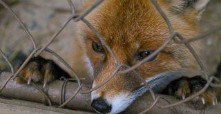 piège à renard